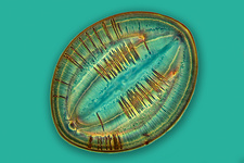 Fossil diatom, light micrograph