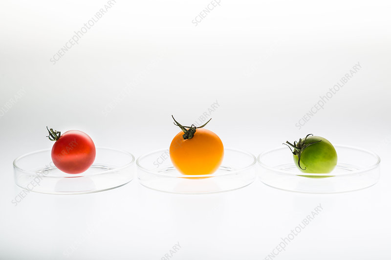 Tomatoes on petri dish