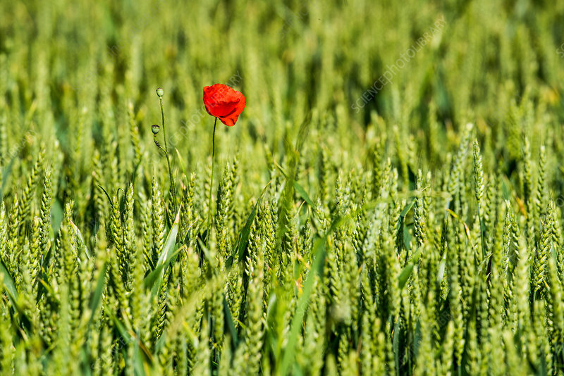 Field of wheat and poppy