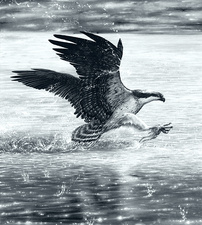 Osprey catching a fish, illustration