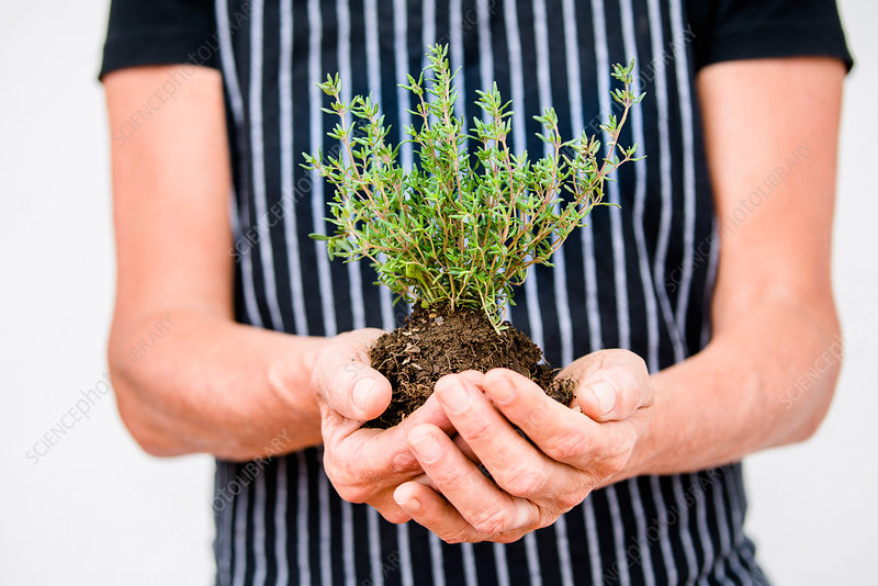 Woman gardening with potted thyme plant