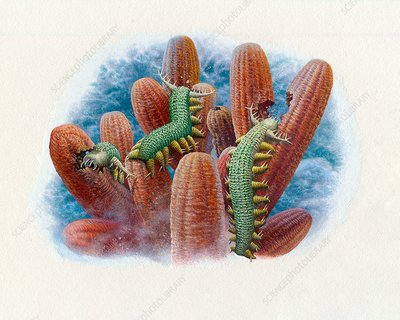 Aysheaia feeding on sponges, illustration