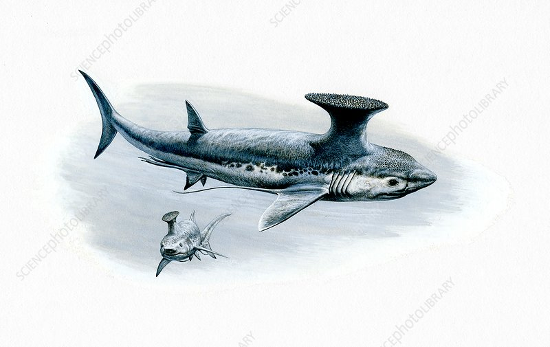 Stethacanthus cartilaginous fish, illustration