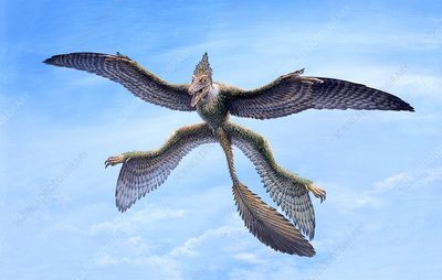 Microraptor feathered gliding dinosaur, illustration