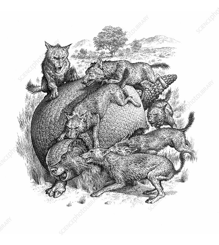Glyptodon mammal being attacked by wild dogs, illustration