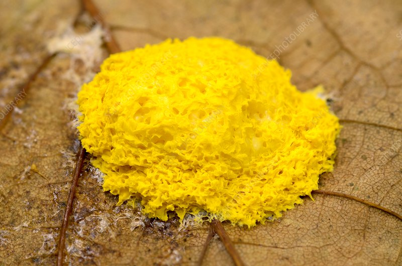 Flowers of tan slime mould