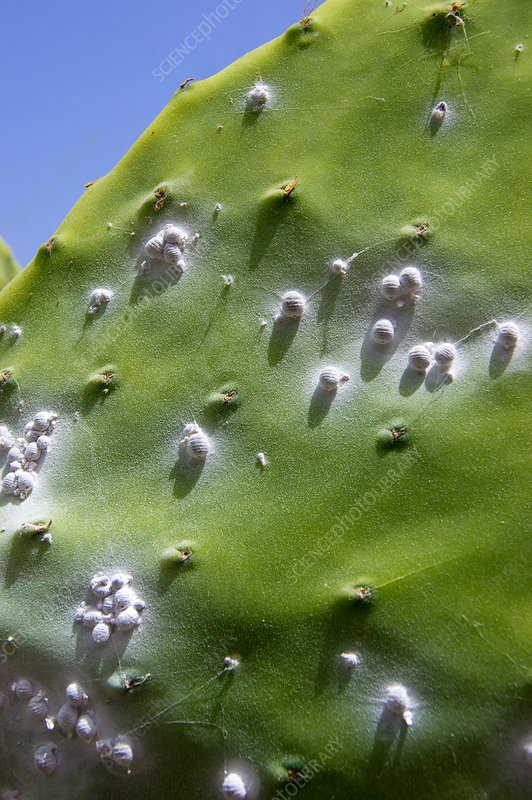 Cochineal beetles on prickly pear cactus