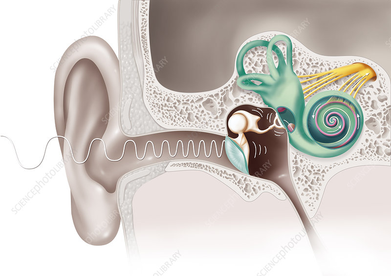 Hearing, illustration