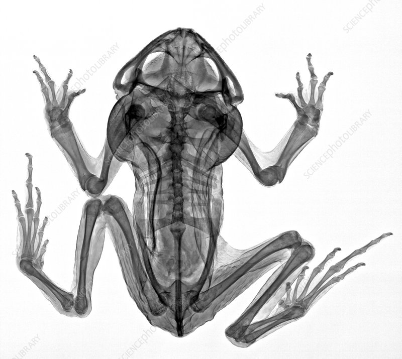 Cane toad, X-ray