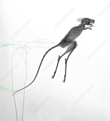 Jerboa jumping, X-ray