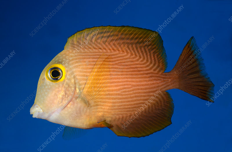 Yellow-eyed kole fish