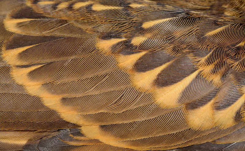 Song thrush wing feathers