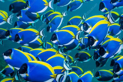Powderblue surgeonfish schooling