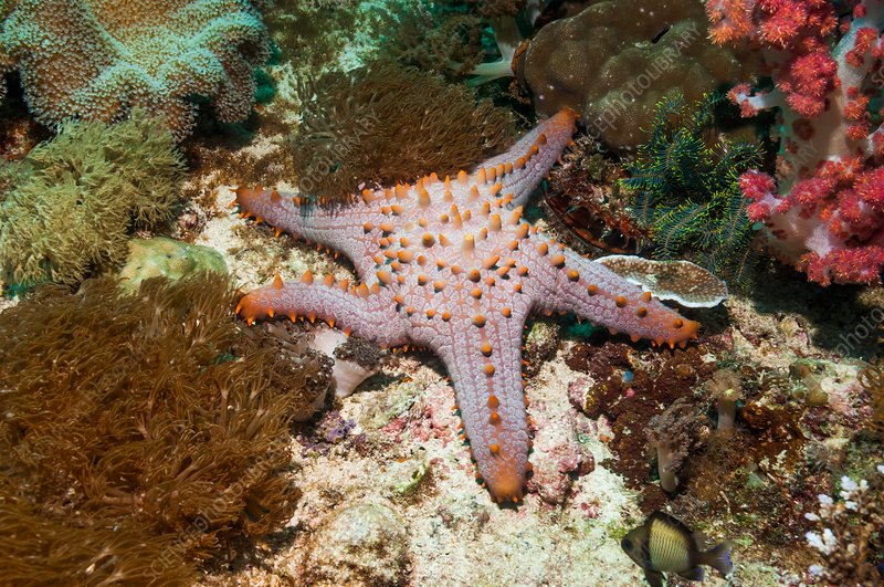 Pentaceraster cushion starfish