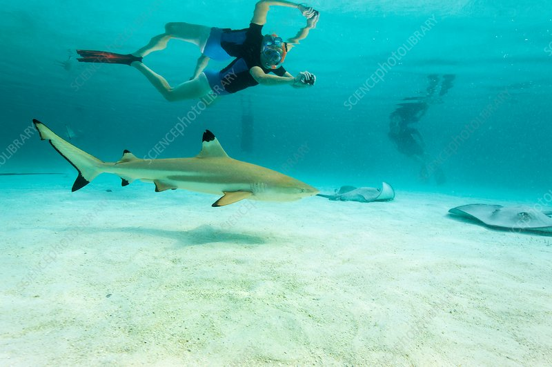 Snorkeller with blacktip reef shark and stingrays