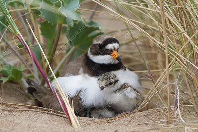 Ringed plover and newly hatched chick