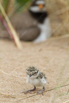 Ringed plover newly hatched chick