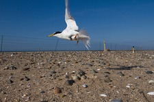 Little tern conservation