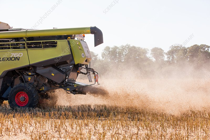 Chaff from rapeseed harvesting