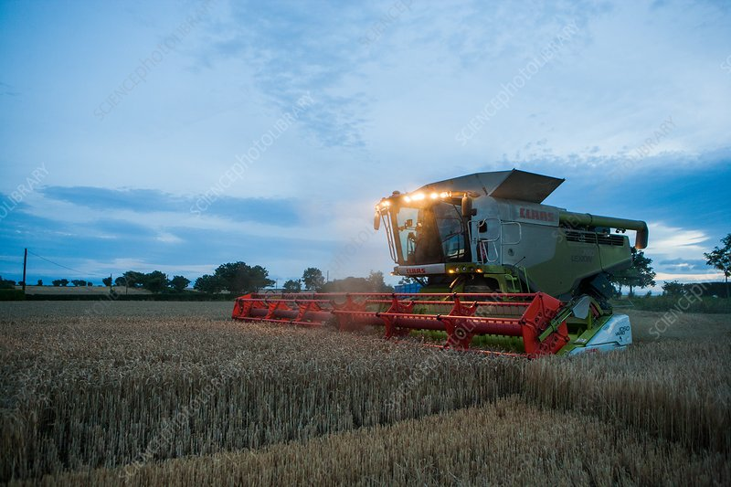 Wheat harvesting at dusk