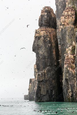Birdlife on dolerite cliff, Svalbard