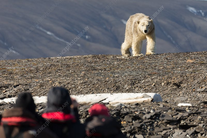 Polar bear confronting tourists