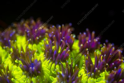 Galaxea hard coral fluorescing at night