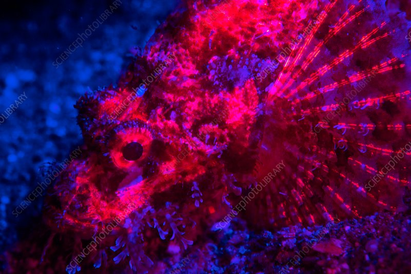 Scorpionfish fluorescing at night