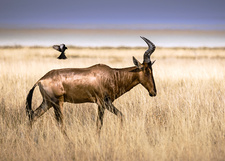 Oxpecker and red hartebeest