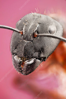 Red ant head