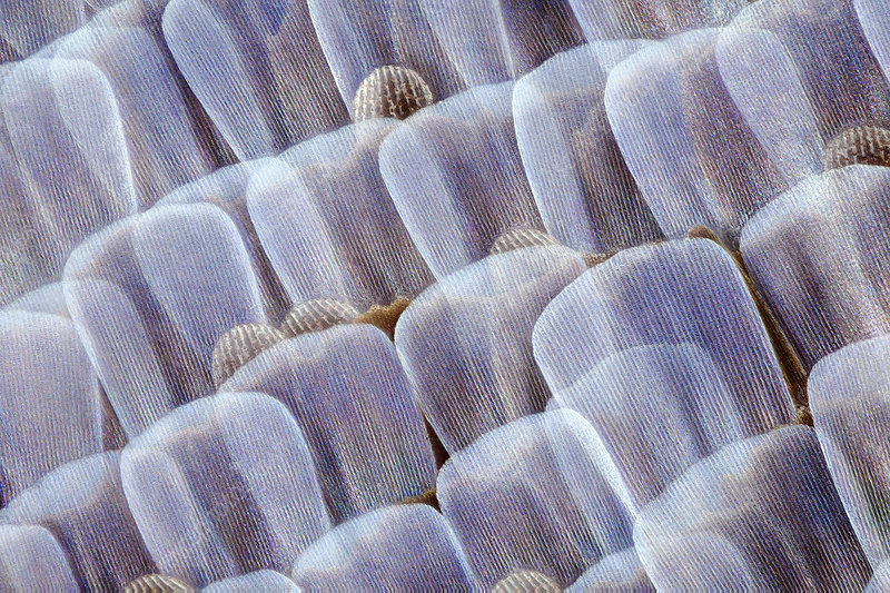 Adonis blue butterfly scales