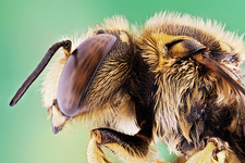 European wool carder bee