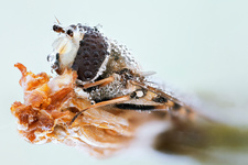 Hoverfly covered with dew