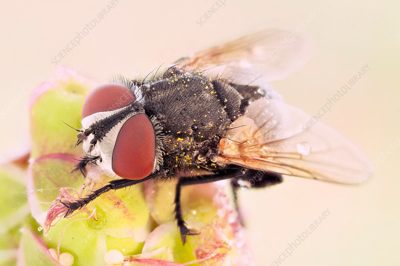 Fly covered with pollen