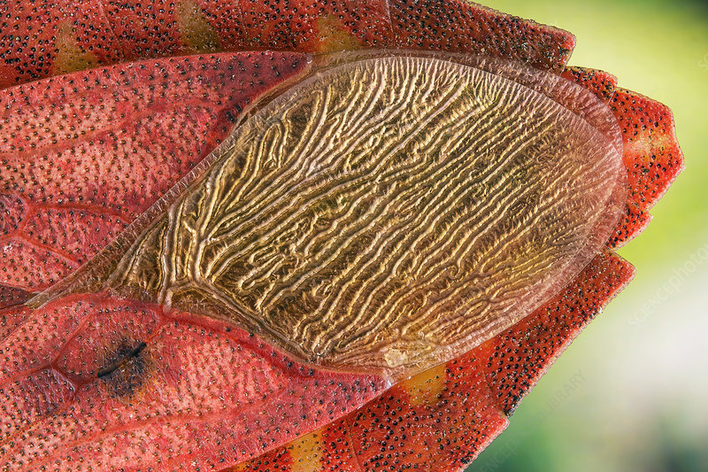 Leaf-footed bug wing