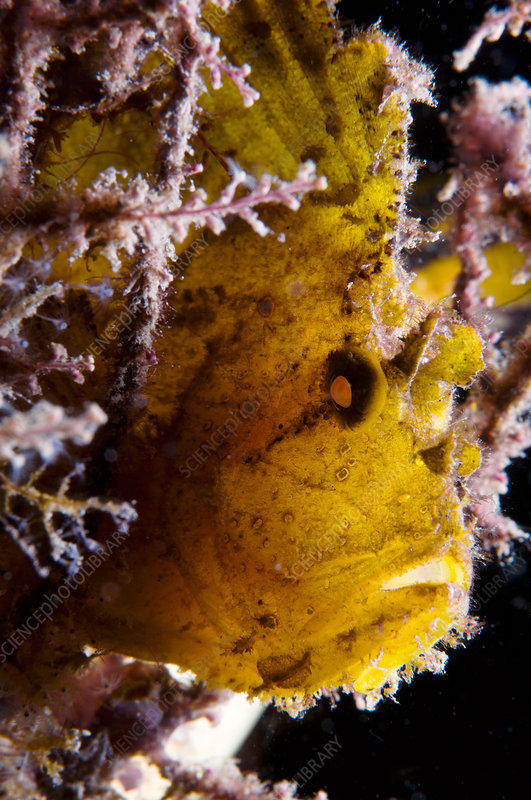 Backlit Leaf Scorpion Fish