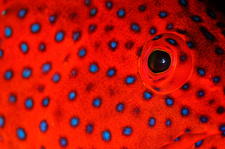 Coral Grouper Eye Detail