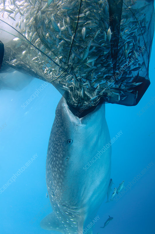 Whale shark Sucking on Fishing Net