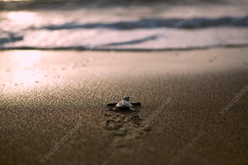 Hawksbill turtle hatchling, Palawan, Philippines