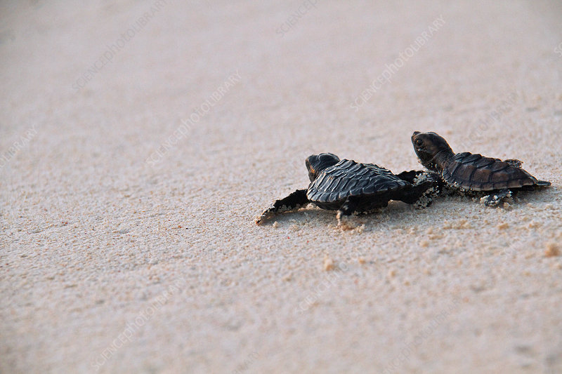 Hawksbill turtle hatchlings, Palawan, Philippines