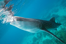 An injured whale shark feeding
