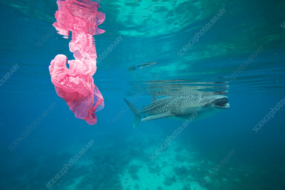 Whale shark and plastic bag