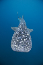 Whale shark, Bohol Sea, Philippines