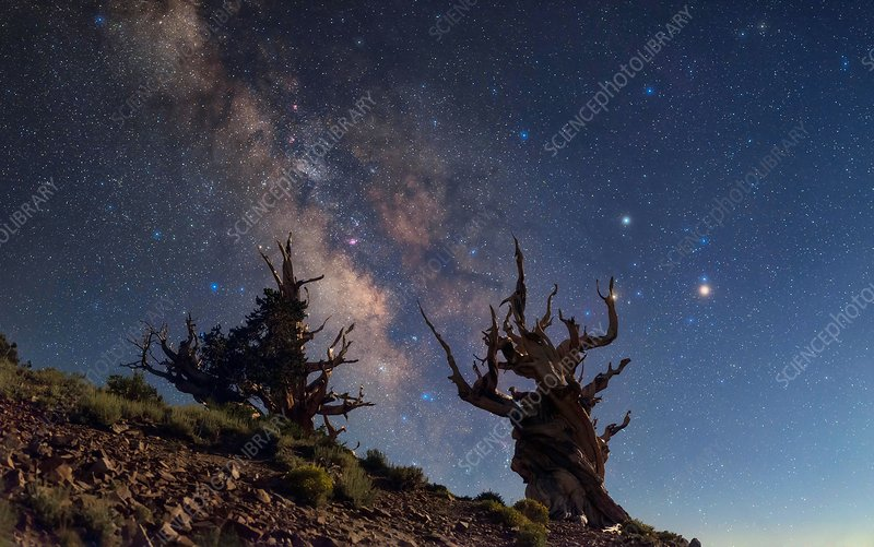 Milky Way over bristlecone pine trees