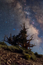 Milky Way over bristlecone pine tree