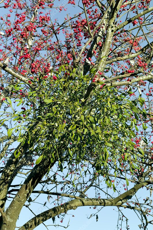 Mistletoe (Viscum album) with berries