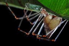 Comb-footed spider with eggs