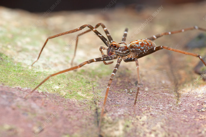 Long-legged wandering spider