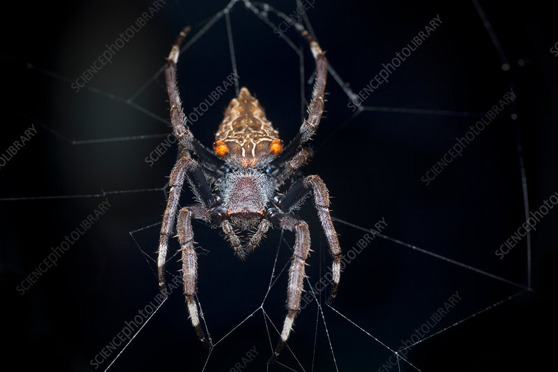 Orb-weaver spider on its web