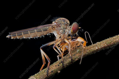 Robber fly preying on cockroach